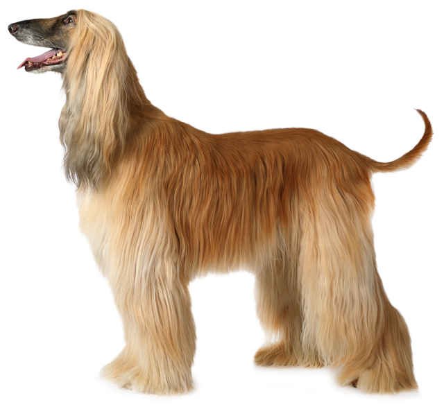 Tan-colored Afghan Hound with long coat