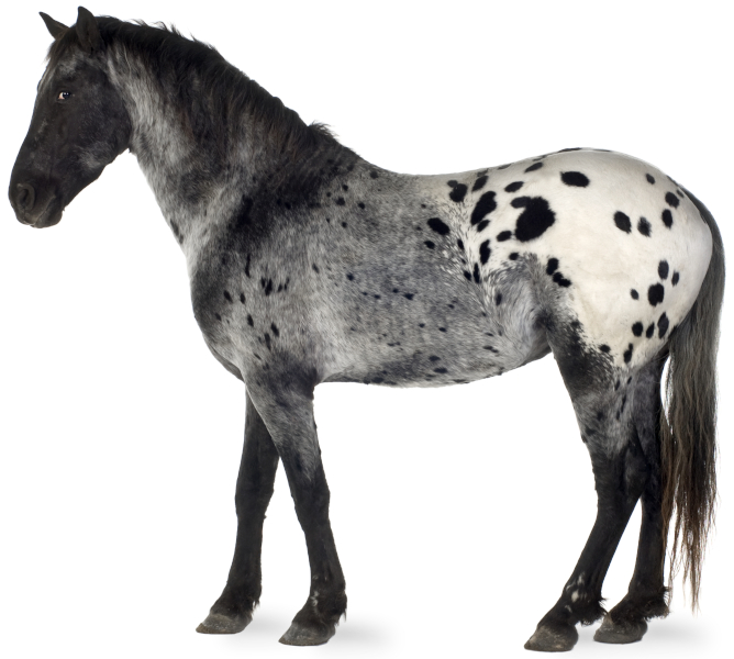 Black and white horse with leopard spotting