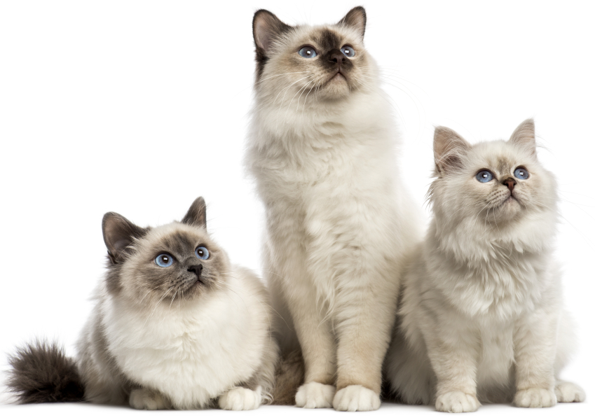 Group of Birman cats