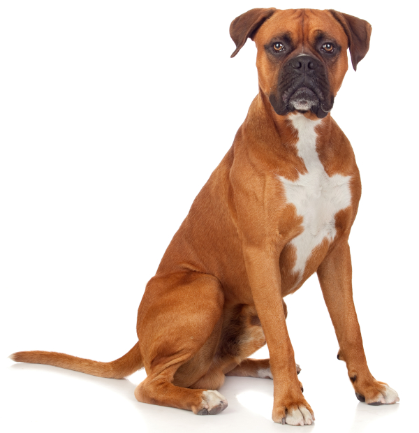 Sitting Boxer dog