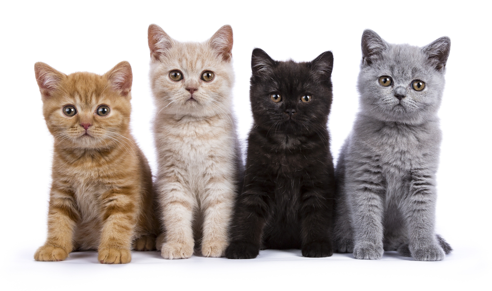 Four British Shorthair kittens showing full colors and diluted colors