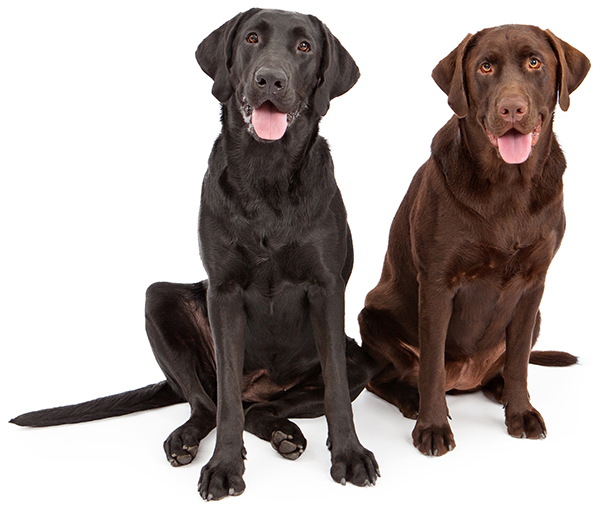 Black and Chocolate Labrador Retrievers