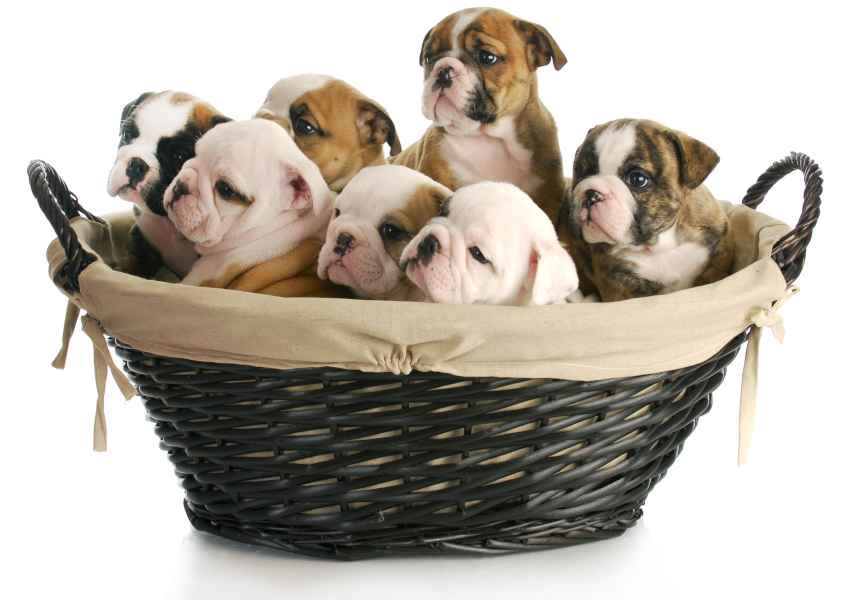Basket full of Bulldog puppies