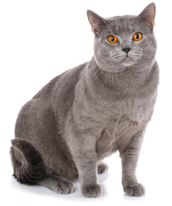 Dilute coat color in a Chartreux cat