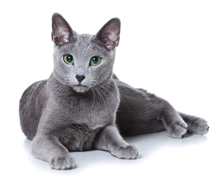 Dilute coat color on a Russian Blue cat