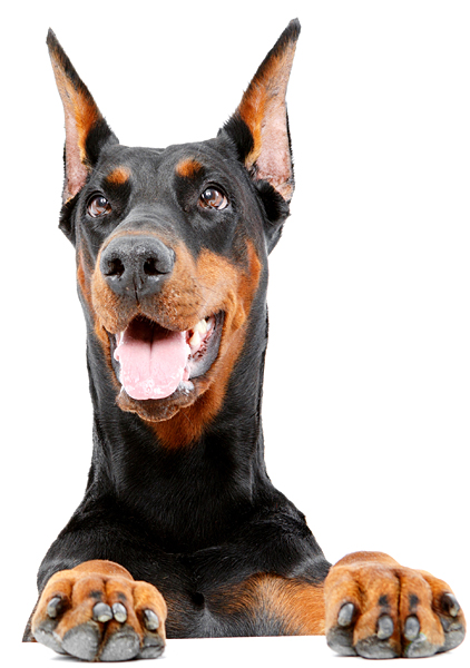 Doberman looking over edge at viewer