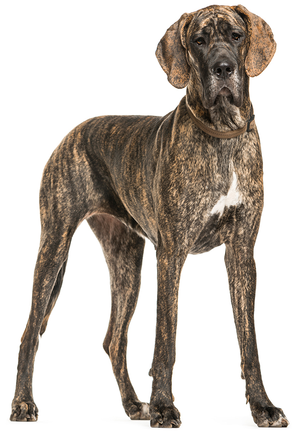Great Dane with brindle coat