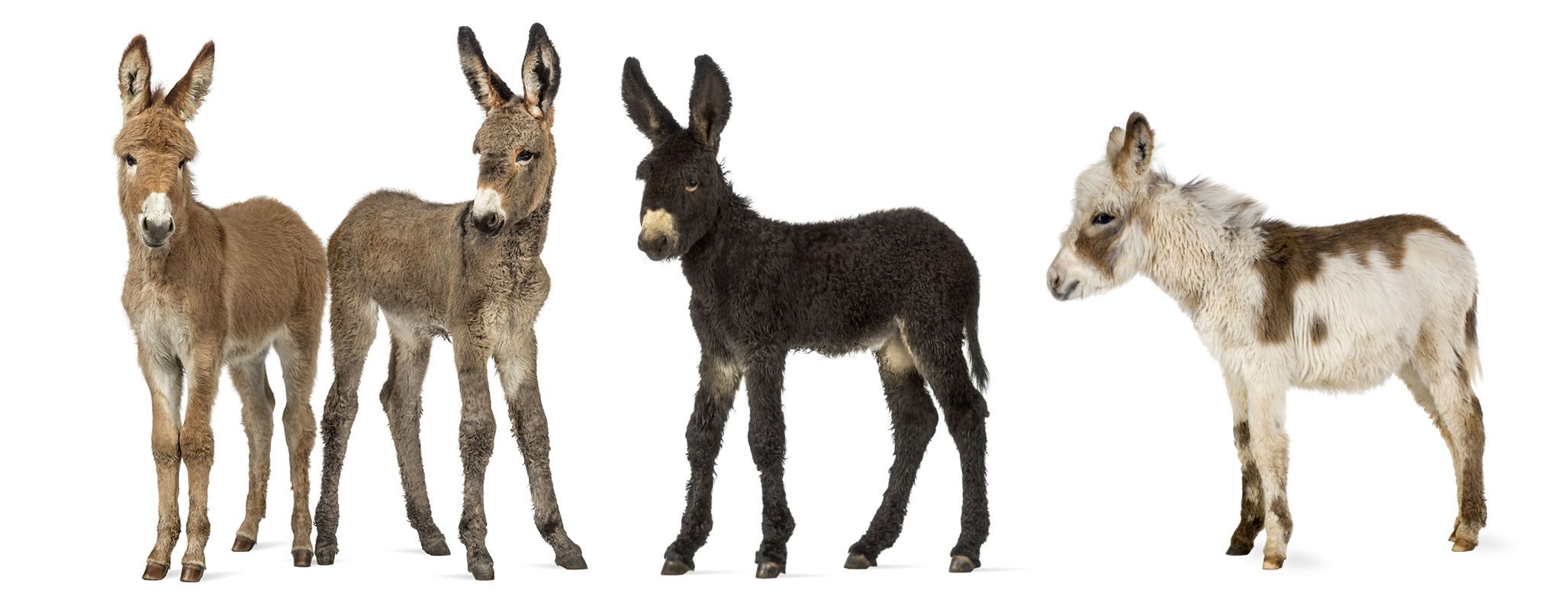 Donkeys with different coat colors and hair lengths