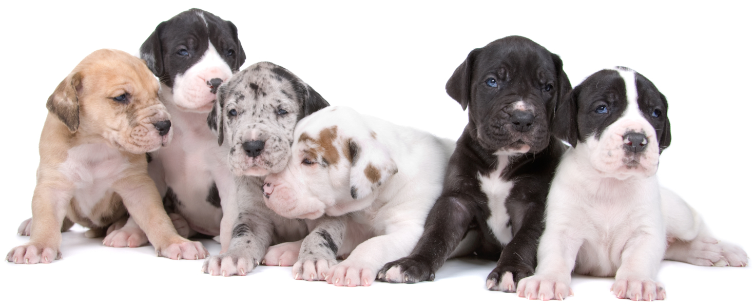 Group of colorful Great Dane puppies