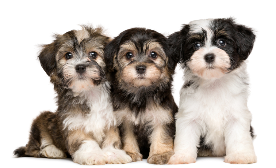 Group of Havanese puppies