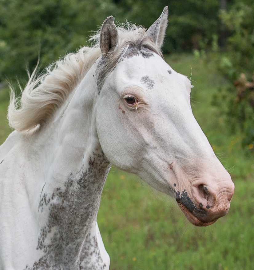 Sabino horse with extensive white markings.