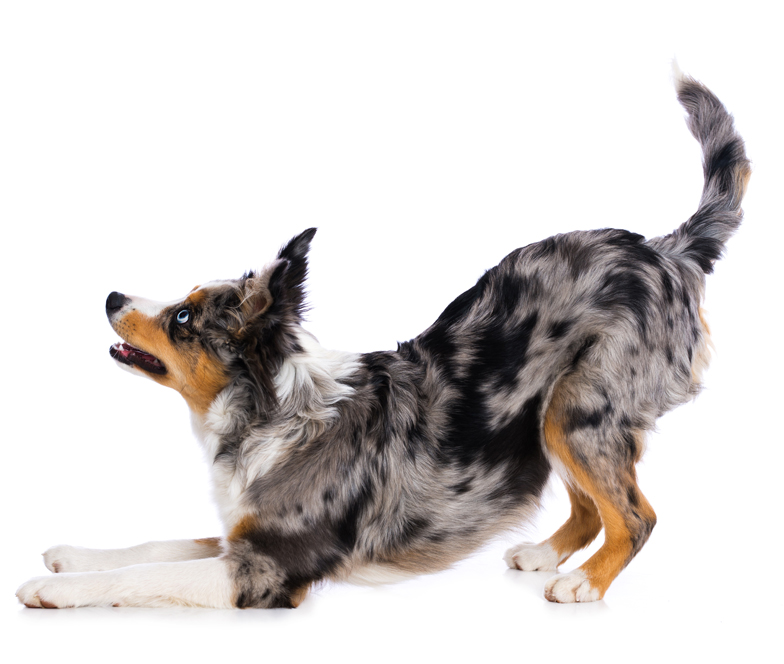 Miniature Australian Shepherd puppy with merle pattern
