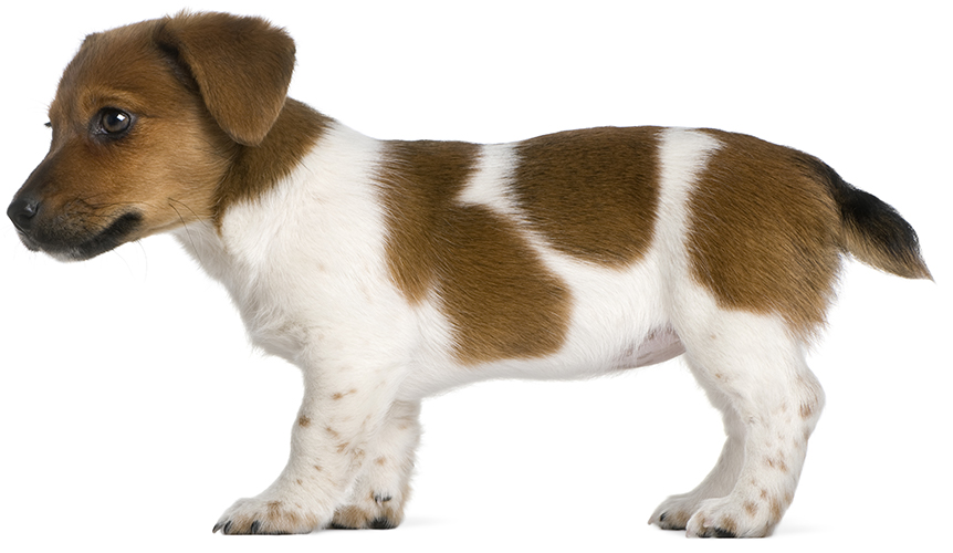 Jack Russell Terrier puppy with naturally bobbed tail