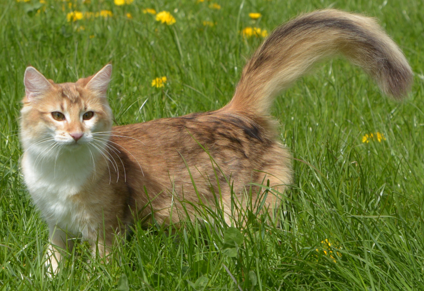 Norwegian Forest Cat with amber coat color