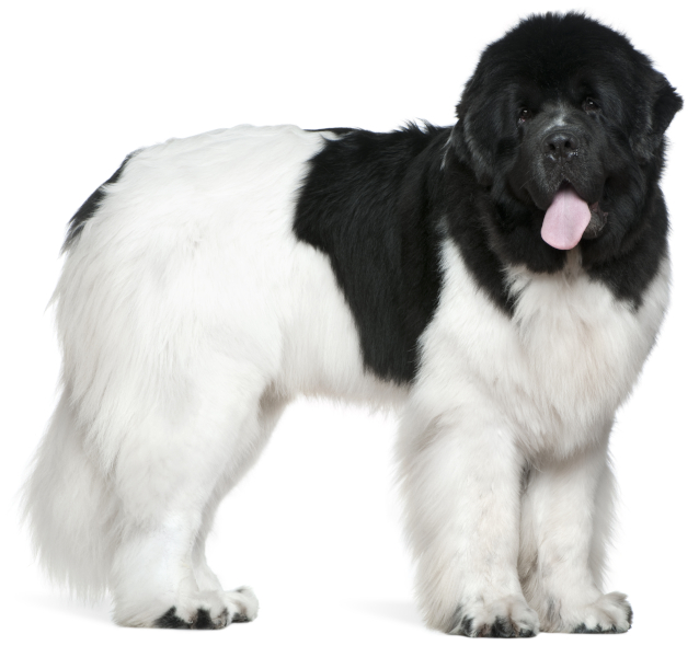Piebald Newfoundland with black and white markings