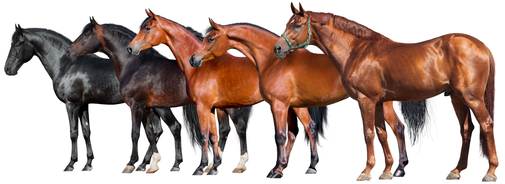 Group of red and black horses