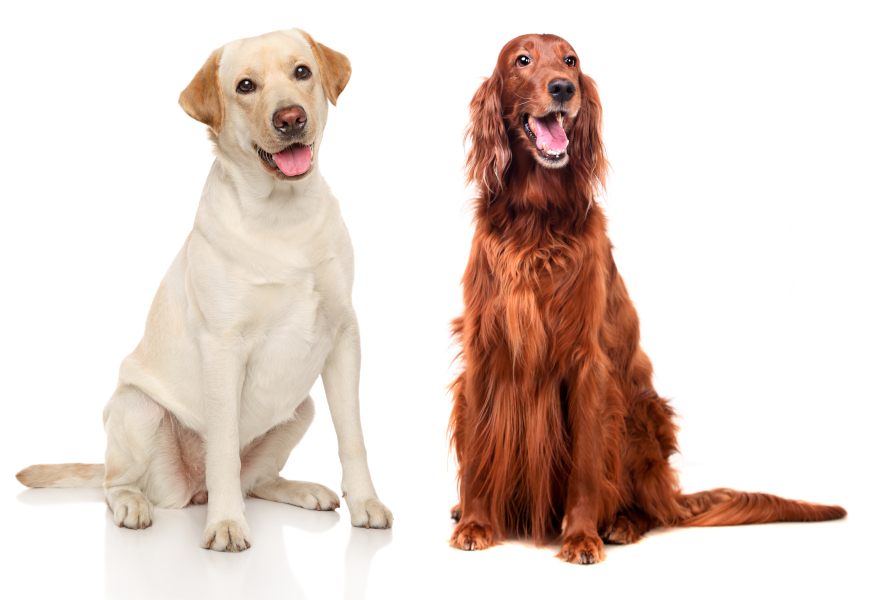 Yellow Labrador Retriever and red Irish Setter