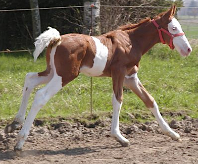 Foal with spalshed white markings