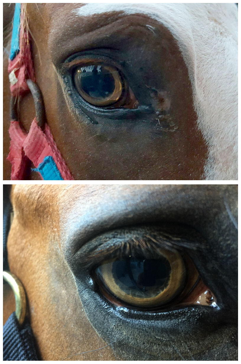 Closeup of yellow eye of horse homozygous for Tiger Eye 1 mutation and horse that is compound heterozygous for Tiger Eye 1 and Tiger Eye 2