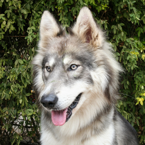 Wolf Dog Hybrid Test Veterinary Genetics Laboratory